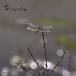 Upo Autumn Dragonfly