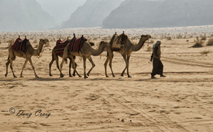 Bedouin With Camels