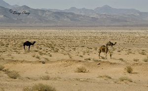 Camels In The Hinterlands